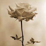 Long-Stemmed Rose Photographie par Tom Marks
