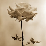 Long-Stemmed Rose Photographic Print by Tom Marks
