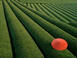 Umbrella in Tea Fields Fotografie-Druck von Steven Vidler