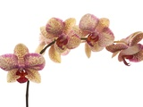 Orchid Photographic Print by Ton Kinsbergen