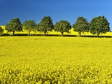 Horsechestnut Trees and Rape Field Photographic Print by Frank Krahmer