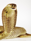 Snouted Cobra Photographic Print by Martin Harvey