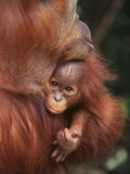 Orangutan and Baby Photographic Print