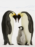 Emperor Penguins Protecting Chick Photographic Print by John Conrad