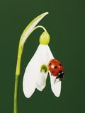 Ladybug on Snowflake Flower Photographic Print by Naturfoto Honal