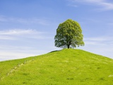 Lime Tree on Grassy Hill Photographic Print by Frank Lukasseck