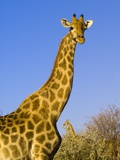 Giraffe in Etosha National Park Photographic Print by Blaine Harrington
