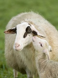 Sheep with Lamb Photographic Print by Markus Botzek