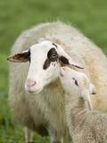 Sheep with Lamb Photographic Print by Markus Botzek