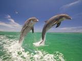 Craig Tuttle - Bottlenosed Dolphins Leaping in Caribbean Sea Fotografická reprodukce