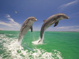 Bottlenosed Dolphins Leaping in Caribbean Sea Photographic Print by Craig Tuttle