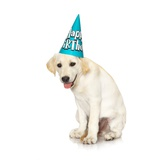 Lab Puppy Wearing Birthday Hat Photographic Print by Lew Robertson
