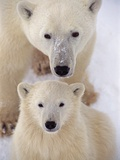 Polar Bear Sow and Cub Photographic Print by Kennan Ward