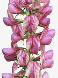 Blossoming Sainfoin Photographic Print by Frank Krahmer