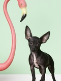 Chihuahua next to pink flamingo Photographic Print
