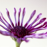 Close-up of a Purple African Daisy Photographic Print by David Roseburg