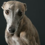Whippet with Pleading Eyes Photographic Print by  Parque