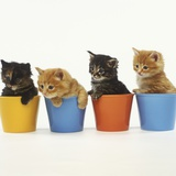 Four Kittens in Plastic Cups Photographic Print by Pat Doyle