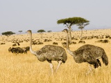 Ostriches and Wildebeests Photographic Print by Hal Beral