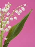 Lily of the valley Photographic Print by Ada Summer