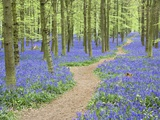Path Winding Through Beech Forest and Bluebells Papier Photo par Frank Lukasseck