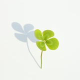 Four Leaf Clover Photographic Print