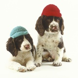 Springer Spaniel Puppies wearing Knit Caps Photographic Print by Pat Doyle