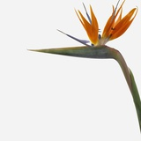 Bird of Paradise Flower Photographic Print