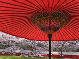Red Japanese Parasol and Pink Cherry Blossoms Photographic Print by Rudy Sulgan