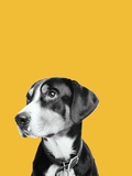 Black and white dog on yellow background Photographic Print by Jason Stang
