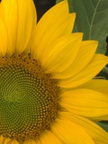 Close-up of Sunflower Photographic Print