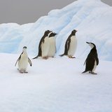 Penguins Standing on Iceberg Photographic Print by John Eastcott & Yva Momatiuk
