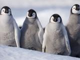 Emperor Penguins in Antarctica Reprodukcja zdjęcia autor Paul Souders