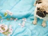 Pug on a Turquoise Blanket Photographic Print by Alessandra Schellnegger
