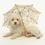 Bichon Frise and Parasol Photographic Print by Pat Doyle