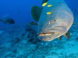 Queensland Grouper Photographic Print by Stuart Westmorland