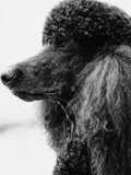 Poodle profile Lmina fotogrfica