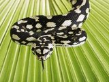 Jungle Carpet Python Photographic Print by Martin Harvey