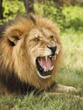 Roaring Lion Photographic Print by Martin Harvey