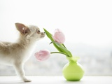 Chihuahua Smelling Flowers in Vase Photographic Print