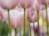 Pink Tulips Photographic Print by Markus Botzek
