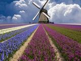 Jim Zuckerman - Windmill and Flower Field in Holland Fotografická reprodukce