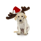 Puppy with Santa Hat and Reindeer Ears Photographic Print by Lew Robertson