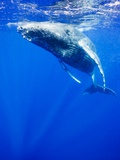 Underwater View of Humpback Whale Resting at Surface Photographic Print by Paul Souders