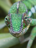 Panther Chameleon Photographic Print by Keren Su