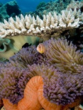 Pink Anemeonefish Peering from Tenticles of Magnificent Sea Anemone Photographic Print by Stephen Frink