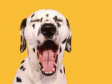 Dalmatian Photographic Print by Martin Gallagher