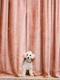 Poodle Looking from Behind Curtain Photographie par Birgid Allig