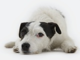 Jack Russell Terrier Lying Down Photographic Print by Russell Glenister