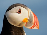 Close-Up of Atlantic Puffin Photographic Print by Arthur Morris